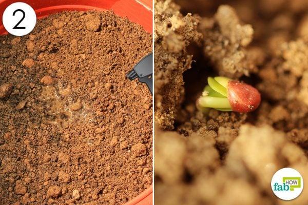 radish germination