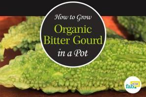 grow organic bitter gourd