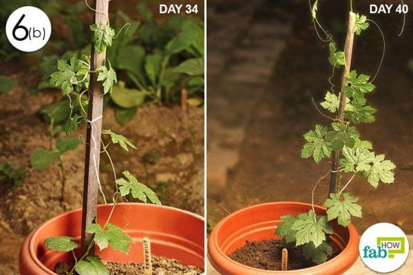 grow bitter gourd