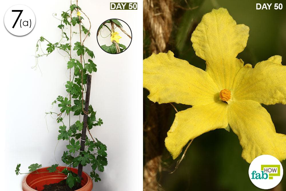 how to grow bitter gourd in uk