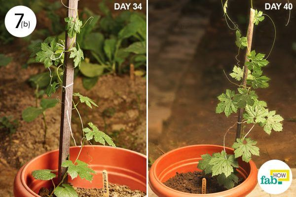 sunlight to grow organic bitter gourd in a pot