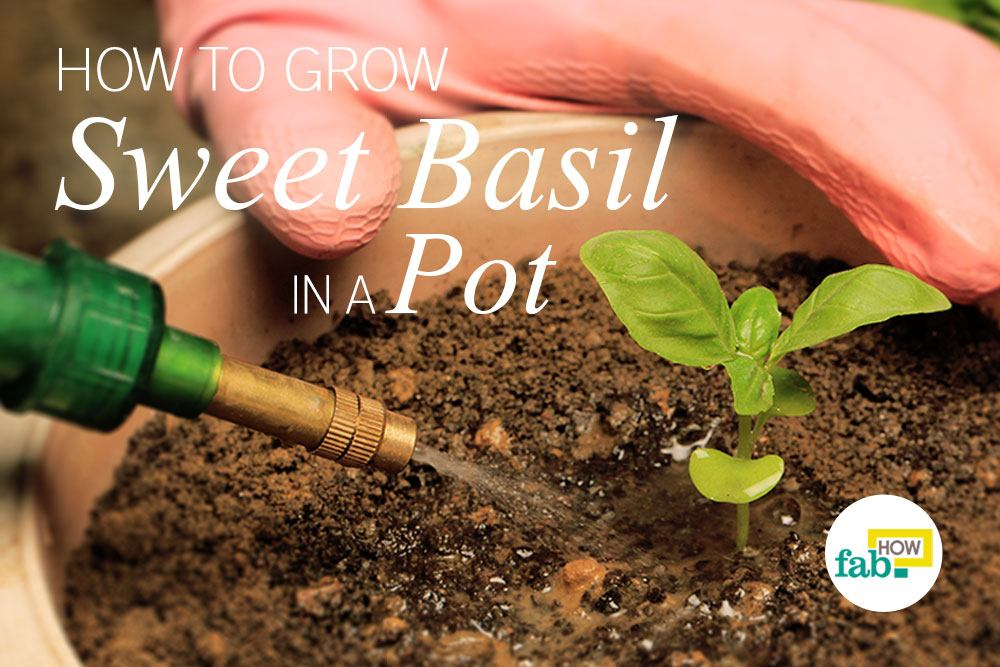 grow sweet basil in a pot