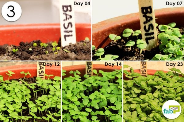 seed germination in basil