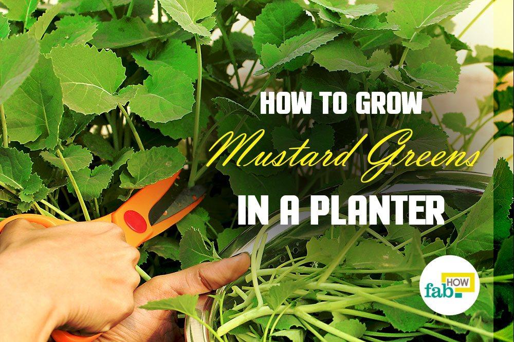 Grow mustard greens