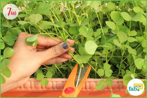 harvest fenugreek greens