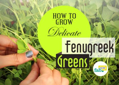 Grow fenugreek greens