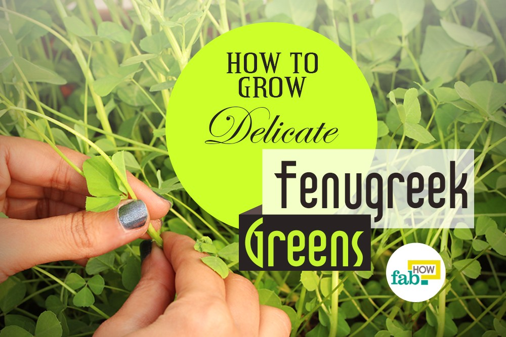 Grow fenugreek greens