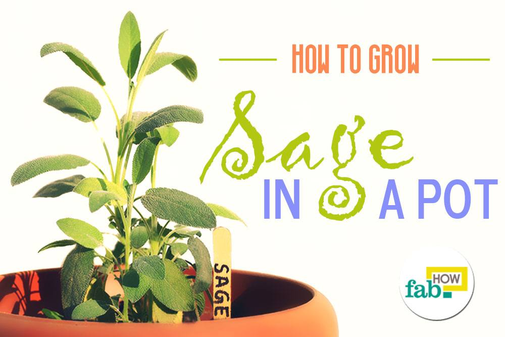 Grow sage in a pot