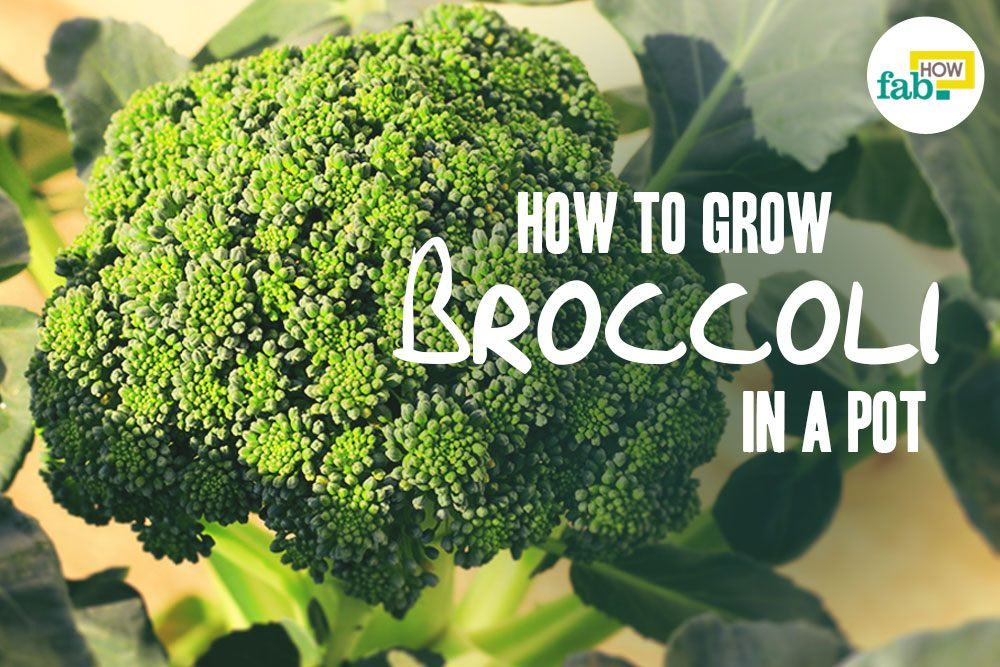 Grow Broccoli in pot