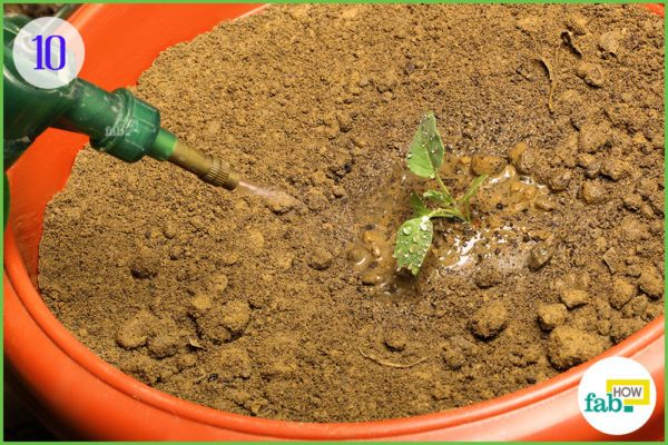 water the soil thoroughly