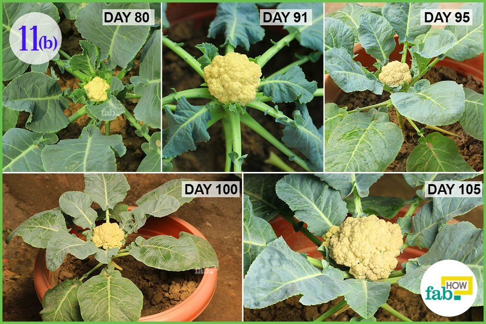How to Grow Cauliflower in a Pot | Fab How