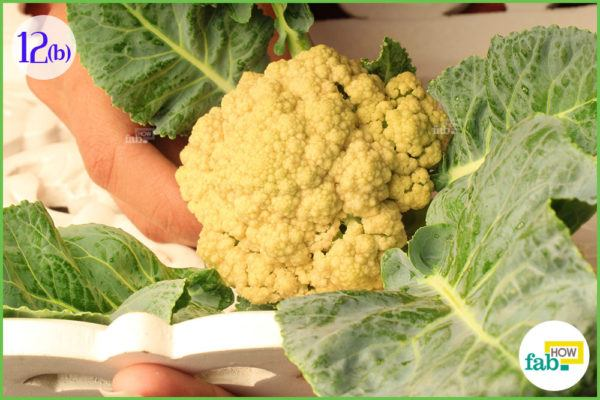 harvest cauliflower