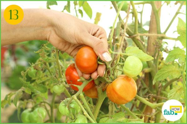 Harvest the tomatoes when ripe