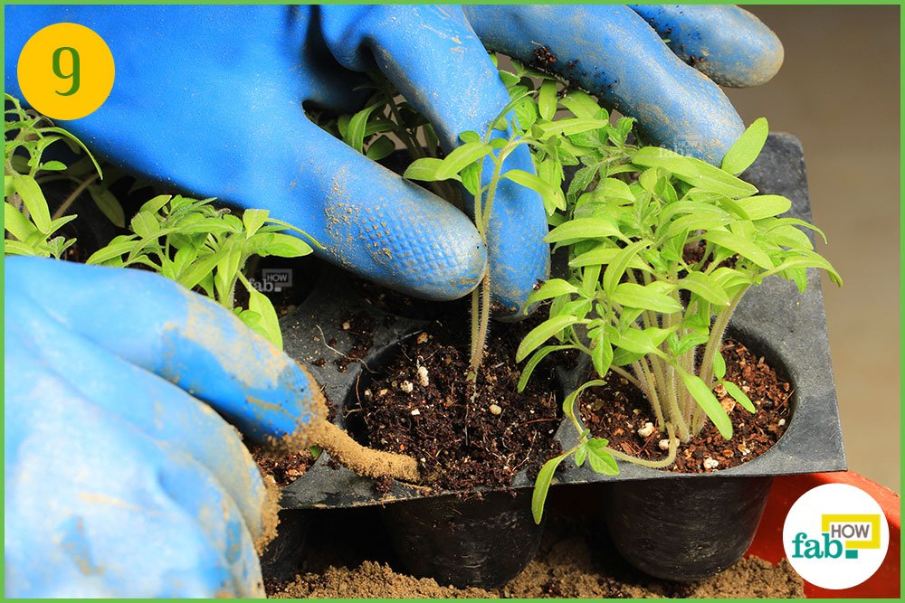 how to grow tomato seeds in a pot