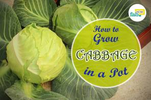 Grow cabbage in pot