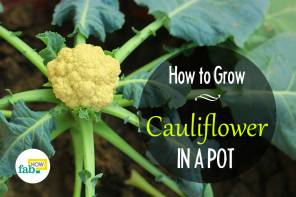 Grow cauliflower in a pot