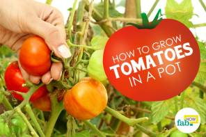 Grow tomato in pot