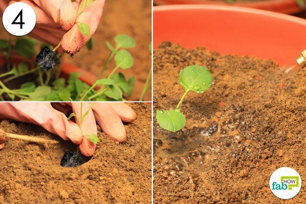 transfer seedling