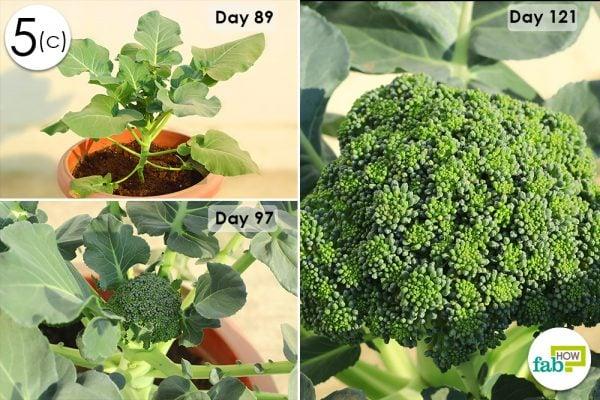 broccoli growth