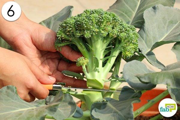 harvest broccoli