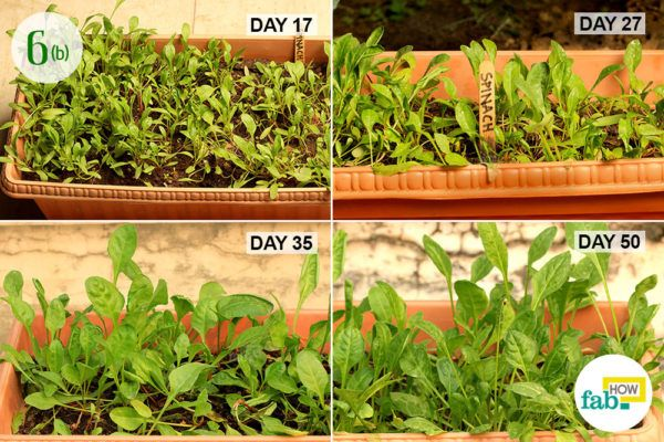 Step-6.2Track the growth of the mustard greens