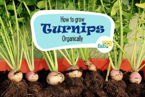 Grow organic turnips