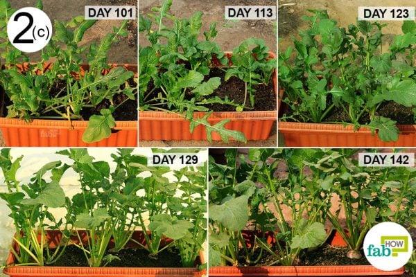 turnip healthy growth