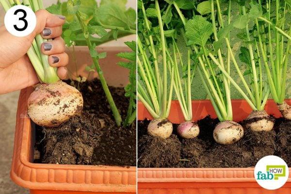 harvest turnip