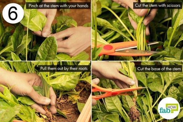 harvest greens
