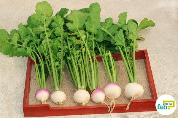 fresh grown turnips