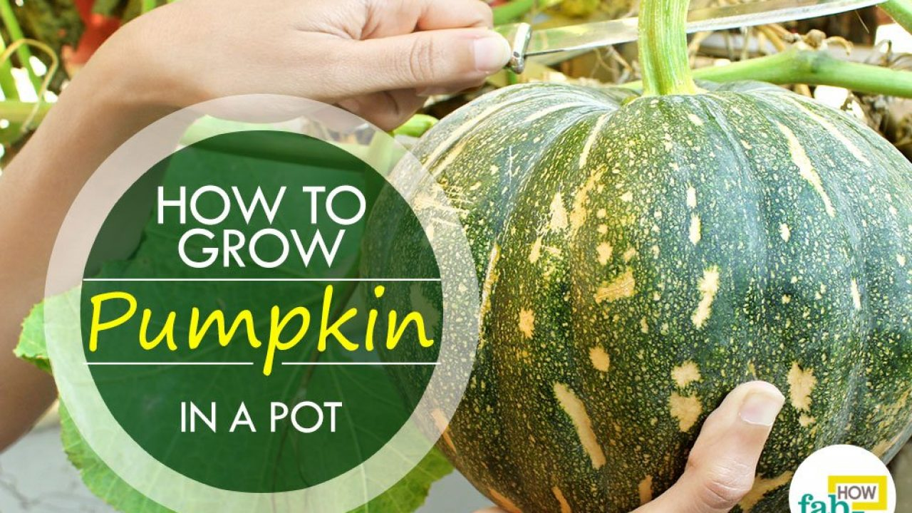 How To Grow Pumpkins With Easy Step By Pictures Fab