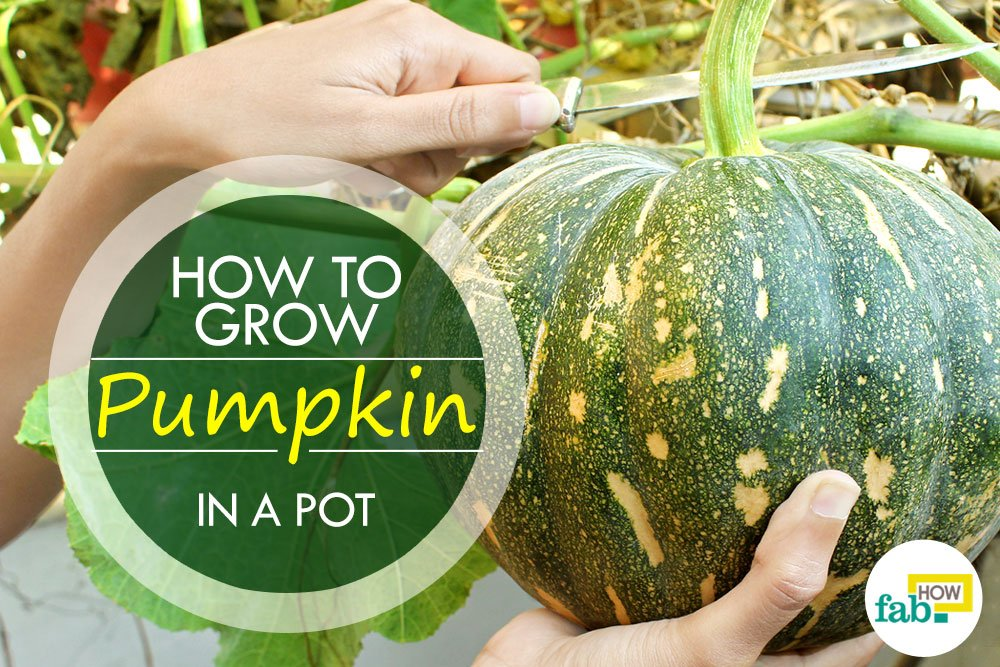 How To Grow Pumpkins With Easy Step By Step Pictures Fab How