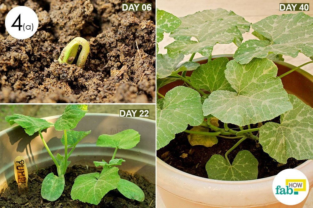 Pumpkin Seedlings Emerge In About A Week When Provided With Ample Moisture The Soil Best Temperature For Germination Is 95 F But Should