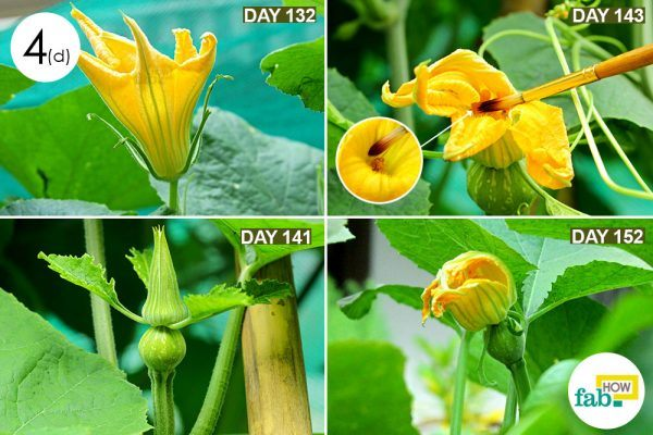 step-4d-monitor-the-growth-of-your-pumpkin-plants