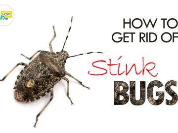 get rid of stink bugs