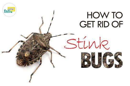How To Get Rid Of Stink Bugs In House Naturally