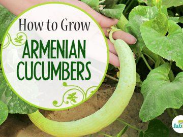 how to grow armenanian cucumber