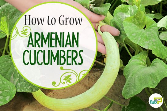 how to grow armenanian cucumber