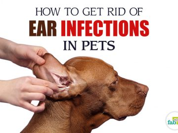 how to get rid of ear infections in pets