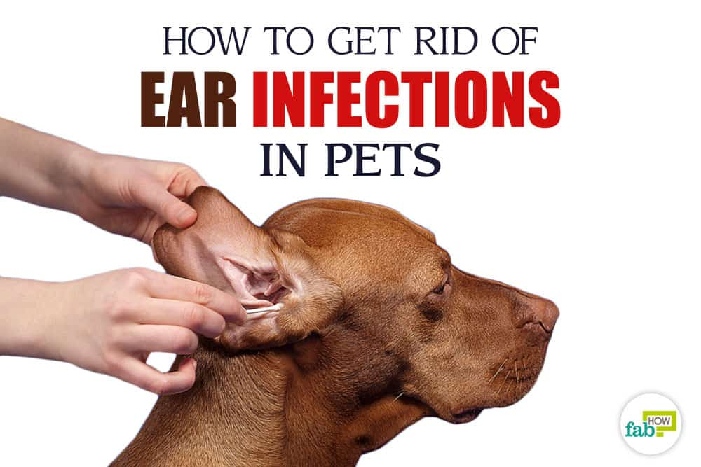 Dog Ear Infection Hearing Loss