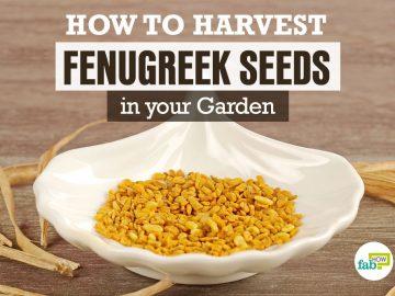 feat harvest fenugreek seeds in your garden