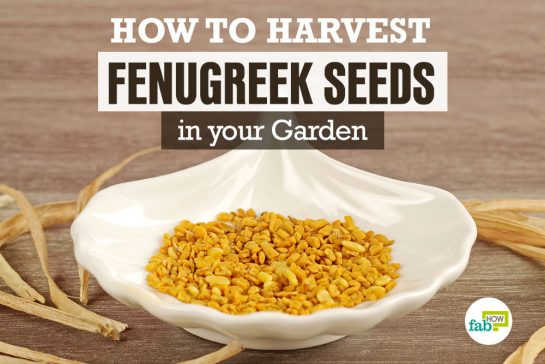 feat harvest fenugreek seeds in your garden