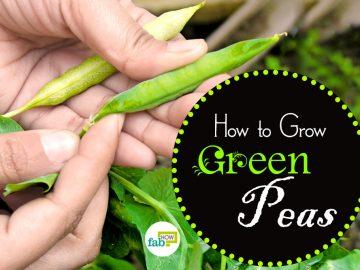 how to grow crisp green peas