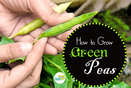 how to grow crisp green peas