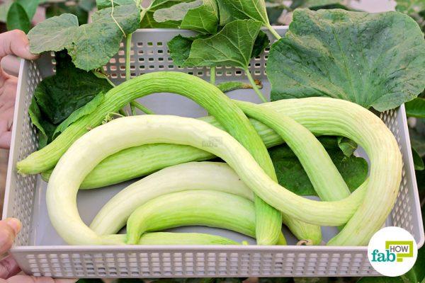 final grow armenanian cucumber