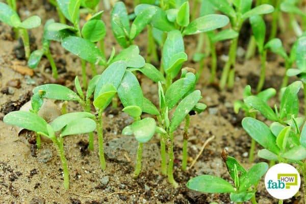 intro harvest fenugreek seeds