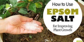 feat how to use Epsom salt in garden to improve plant growth