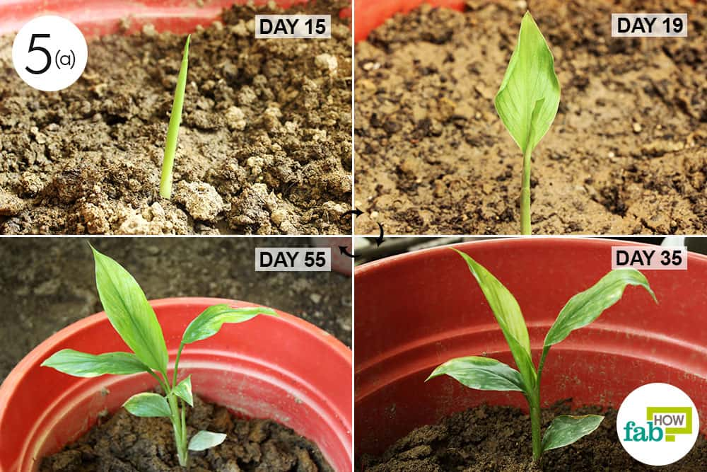 How to Grow Turmeric in 6 Simple Steps (With Real Pictures ...