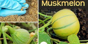 feat how to grow muskmelon