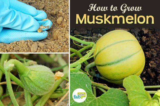 feat how to grow muskmelon